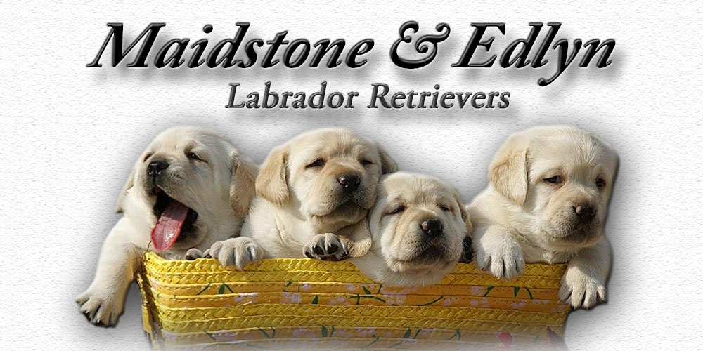 Labrador Retrievers Texas Labradors Texas Labs Texas Maidstone Edlyn Labradors Black Labs Chocolate Labs Yellow Labs Breeders